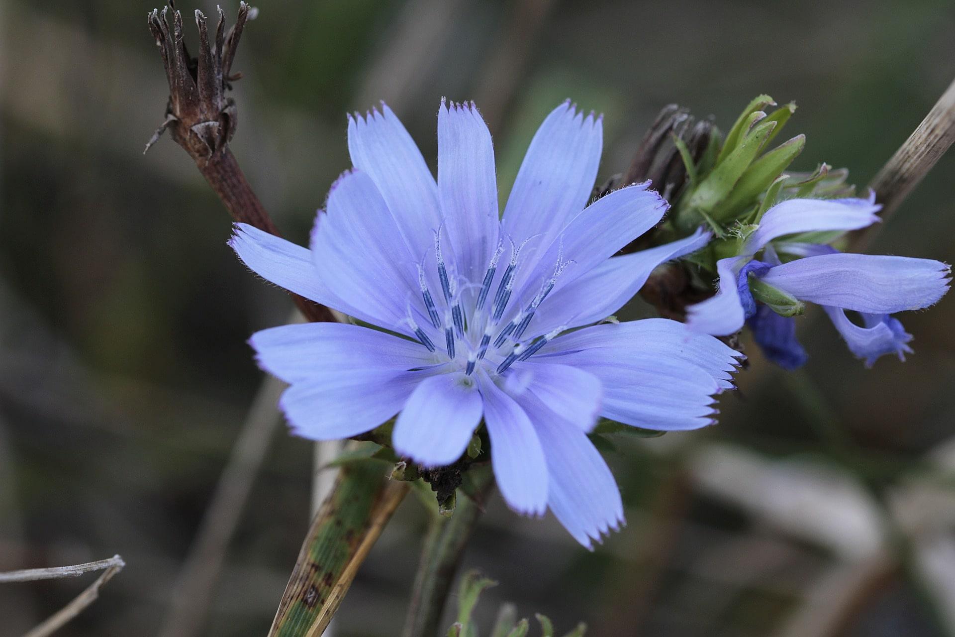 Chicory, flor de Bach, curso Online Flores de Bach de la academia García y Lledó.